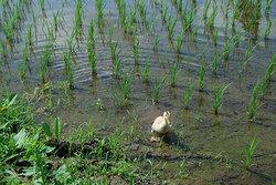 アイガモ放鳥4.JPG